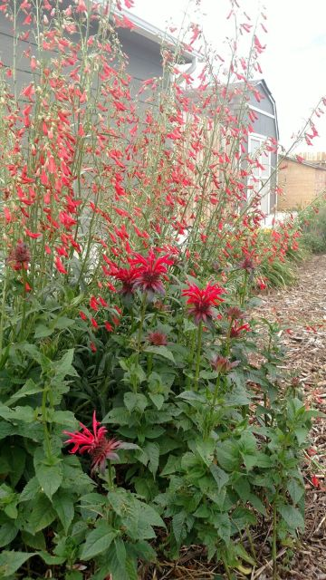 Large round blooms from the bee balm plant are accented by tall stalks of red firecracker penstemon in Kevin Mutschler's garden.